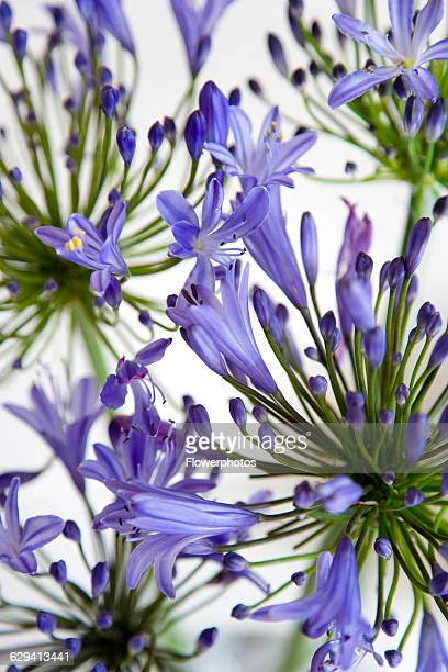 Agapanthus africanus Blue purple flowers on an umbel shaped flowerhead forming a pattern against a white background