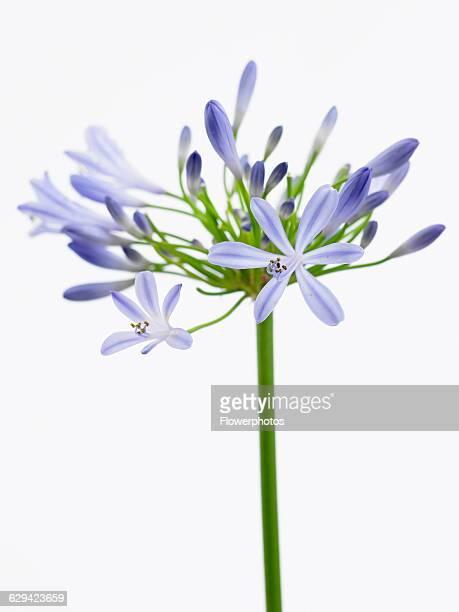 Agapanthus Agapanthus 'Blue Horizon'