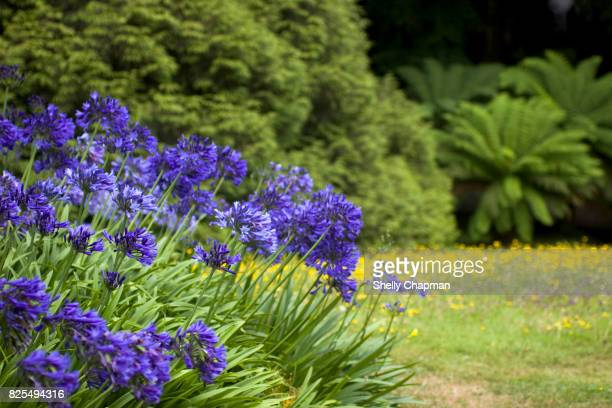 Agapanthus blooming in the garden