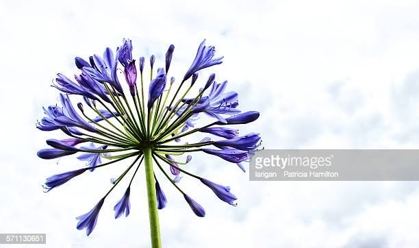 Agapanthus flower against the sky