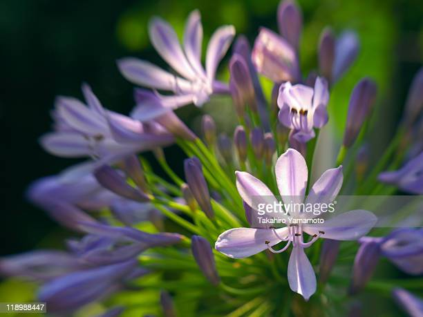 agapanthus flowers - suginami stock photos and pictures