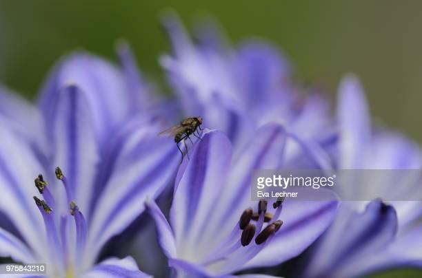 Agapanthus & Fly