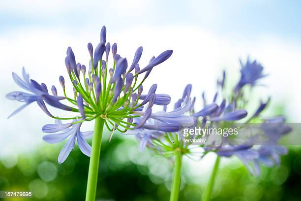 Agapanthus Lily of the Nile Flower Heads