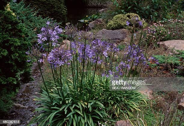 Agapanthus sp Amaryllidaceae Strybing Arboretum San Francisco United States