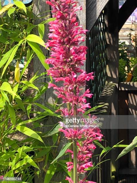 agastache foeniculum ( red fortune) - vanda stock pictures, royalty-free photos & images