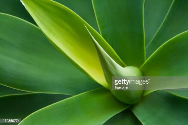 Agave attenuata planta