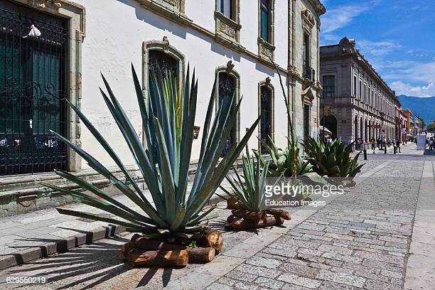Agave Cactus On Display During The Guelaguetza Festival Held Each Year In July Oaxaca Mexico