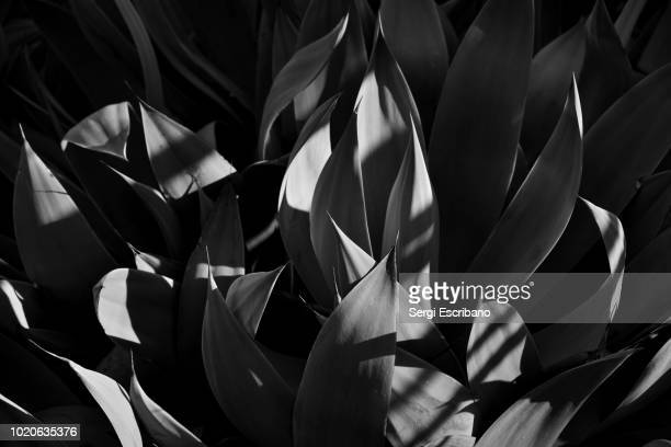 Agave celsii plant