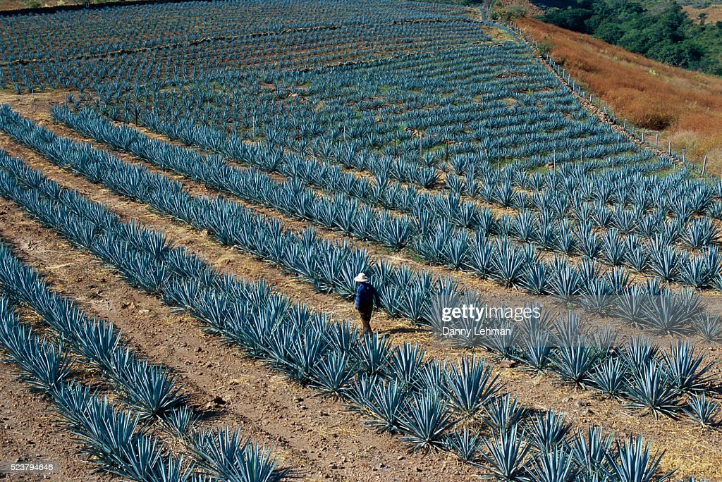 Agave Field : Stock Photo
