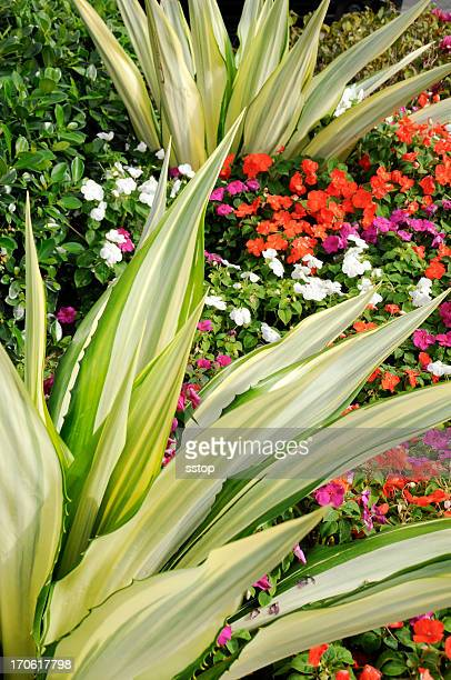 agave garden - florida landscaping stock pictures, royalty-free photos & images