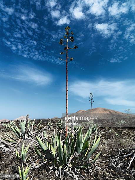 agave in volcanic landscape,  lanzarote - lanzarote stock pictures, royalty-free photos & images