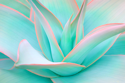 agave leaves in trendy pastel neon colors 909651510