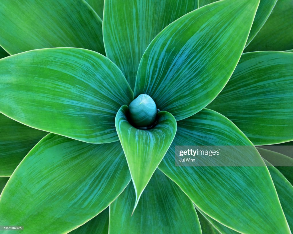 Agave : Stock Photo