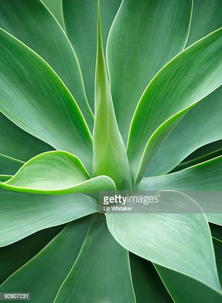 Agave (Agave sp.) plant, close-up