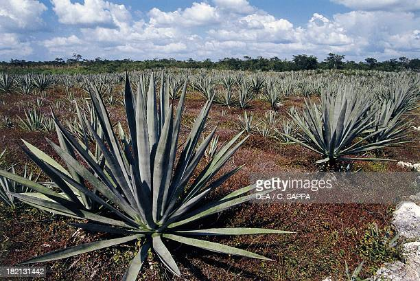 Agave plant cultivation nearby Merida Asparagaceae Yucatan Mexico