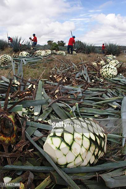 Agave plant for tequila harvest