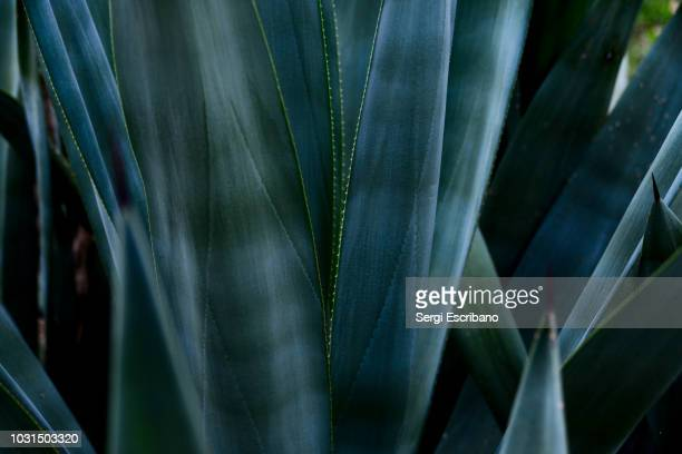 agave plant - botany stock pictures, royalty-free photos & images