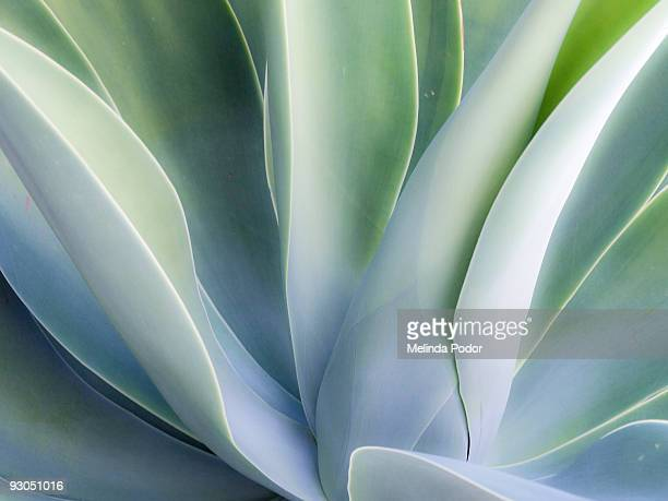 agave plant - succulent stock pictures, royalty-free photos & images