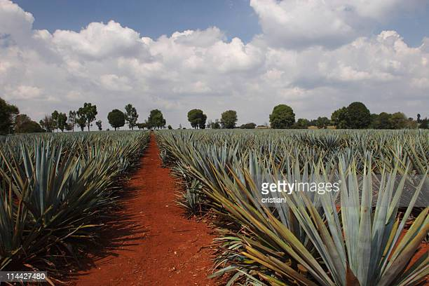 agave plantation - guadalajara mexico stock pictures, royalty-free photos & images