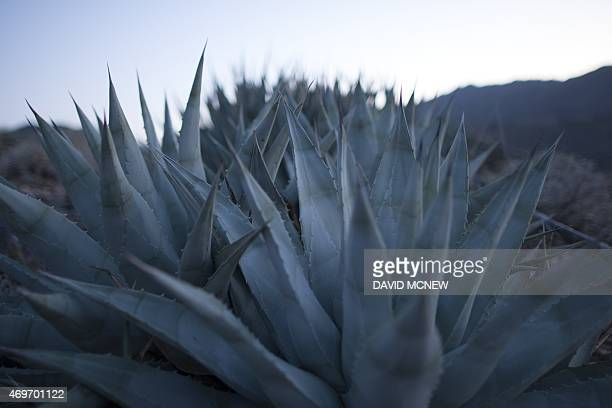Agave plants are seen in desert mountains south of Palm Springs California where agaves were harvested for the annual traditional agave roast on the...