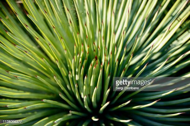 agave striata, narrow-leaf agave - educational subject stock photos and pictures