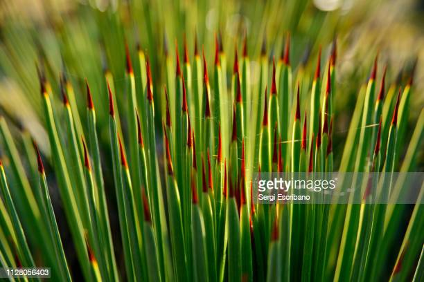 agave striata, narrow-leaf agave - puebla state stock pictures, royalty-free photos & images
