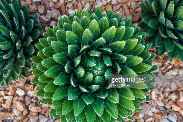 agave victoriae-reginae (queen victoria agave, royal agave) - florin seitan stock pictures, royalty-free photos & images