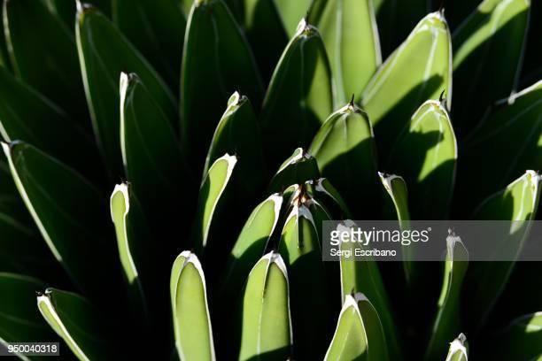 agave victoriae-reginae (queen victoria agave, royal agave) - queen victoria stock pictures, royalty-free photos & images