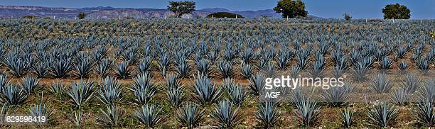 Agave's Field Around Tequila City