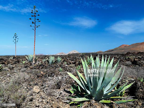 agaves in volcanic landscape,  lanzarote - lanzarote stock pictures, royalty-free photos & images