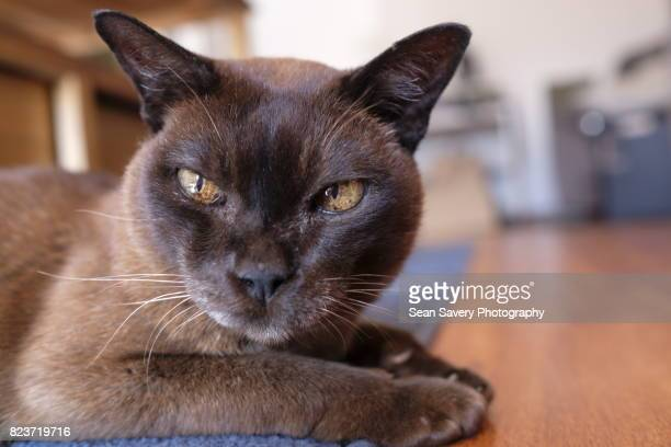 ageing process - burmese cat stock pictures, royalty-free photos & images