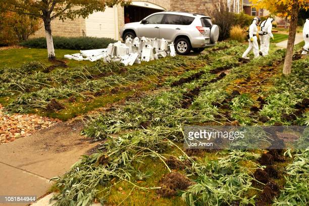 DEA agents lay out marijuana plants to photograph and video for evidence during coordinated raids on illegal in home grows in the Tollgate Crossing...