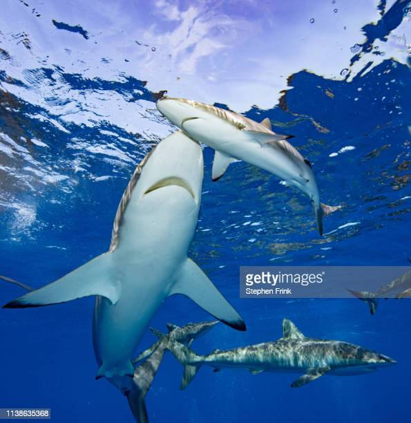 aggregation of both caribbean reef and silky sharks. - reef shark stock pictures, royalty-free photos & images