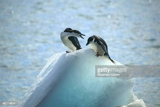 Aggression from one chinstrap penguin to another