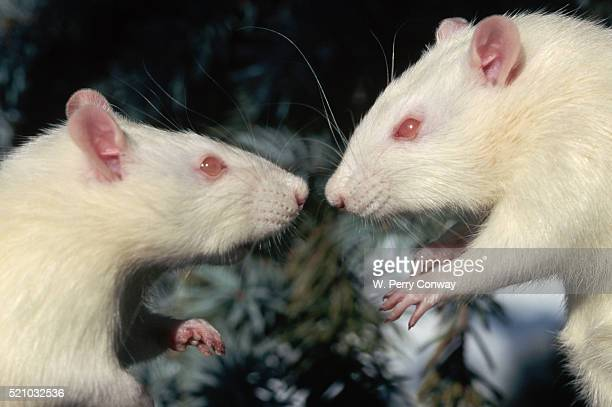 Aggressive Albino Rats Nose to Nose