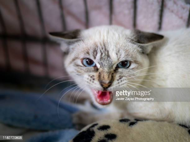 aggressive angry kitten in cage - undomesticated cat stock pictures, royalty-free photos & images