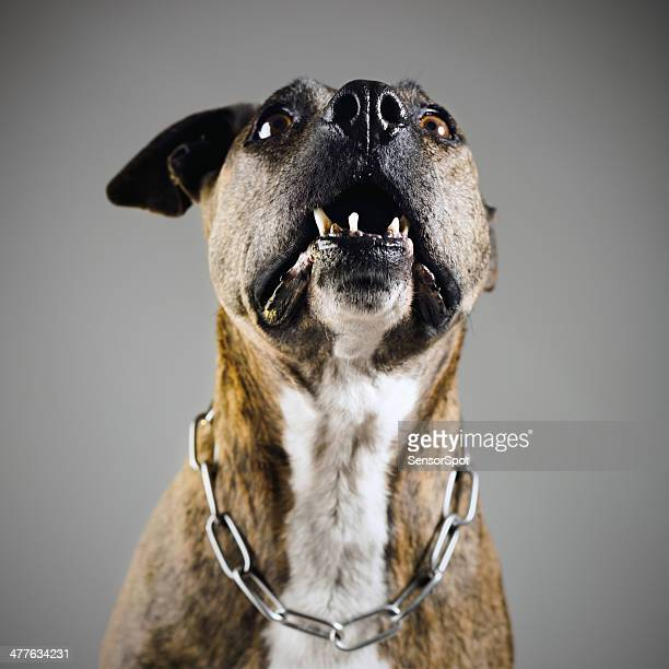 aggressive dog - pit bull terrier stock photos and pictures
