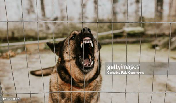 aggressive german shepherd behind bars - fear stock pictures, royalty-free photos & images
