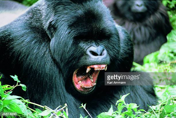 aggressive gorilla (gorilla gorilla) - gorilla stock pictures, royalty-free photos & images