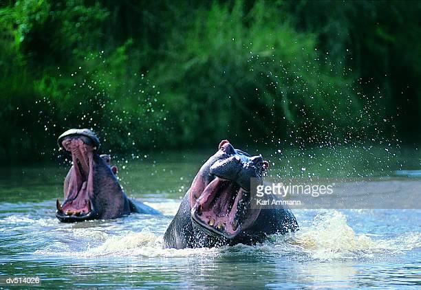 Aggressive Hippos (Hippopotamus amphibius)