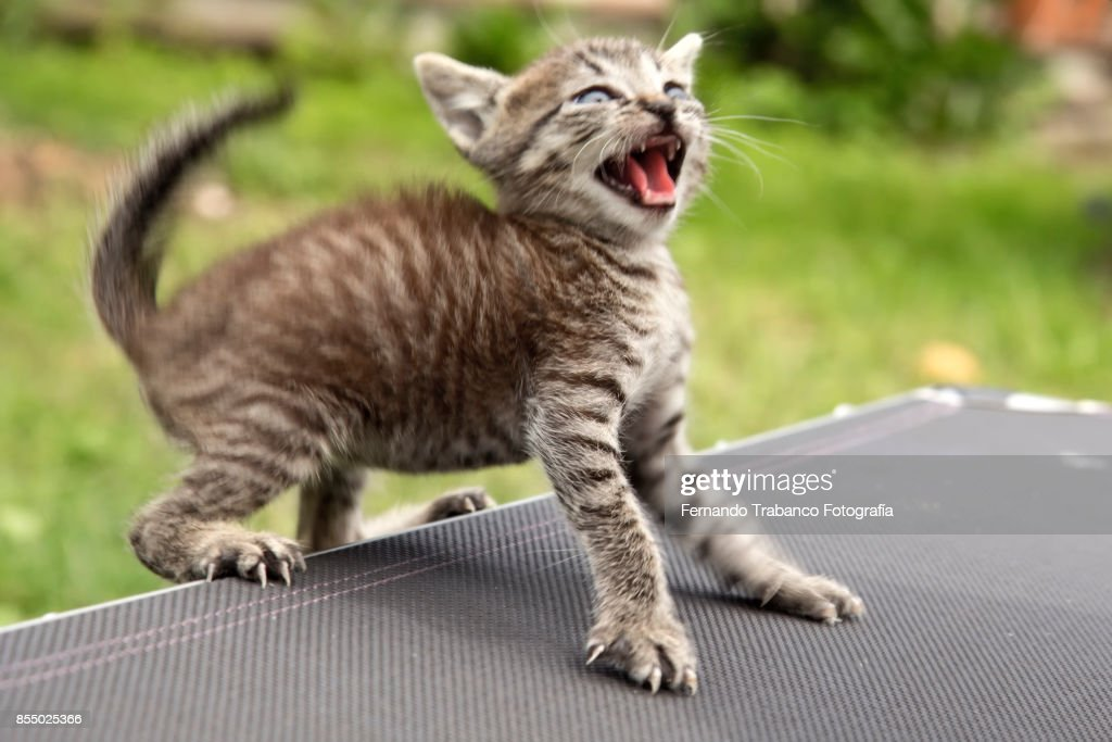 https://media.gettyimages.com/photos/aggressive-kitten-picture-id855025366