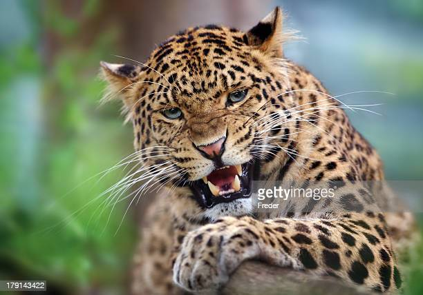 aggressive leopard - leopard stock pictures, royalty-free photos & images