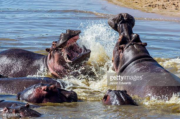 Aggressive Nile Hippopotamus charging and splashing water as they fight with their jaws and tusks in a waterhole.