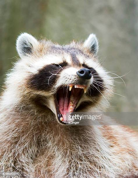 aggressive raccoon  (procyon lotor) - raccoon stock pictures, royalty-free photos & images