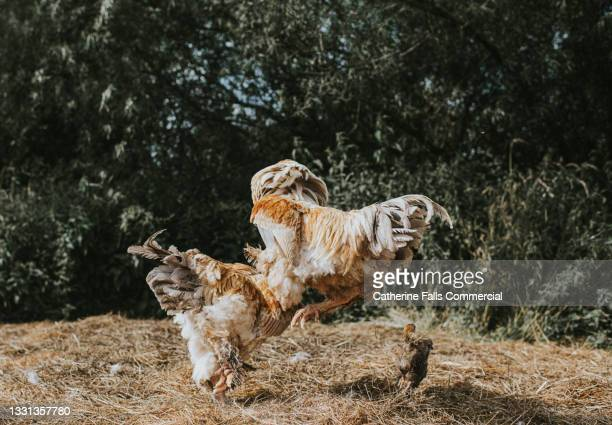 aggressive roosters fight in a farmyard - entertainment event stock pictures, royalty-free photos & images