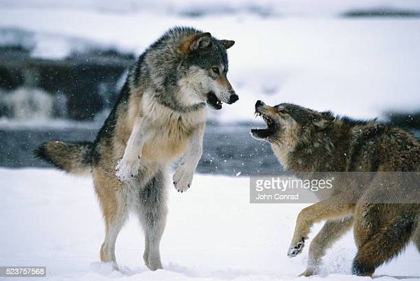 Aggressive Timber Wolves