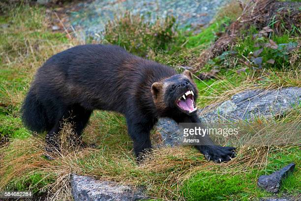Aggressive Wolverine showing teeth on the subarctic tundra in Sweden Scandinavia