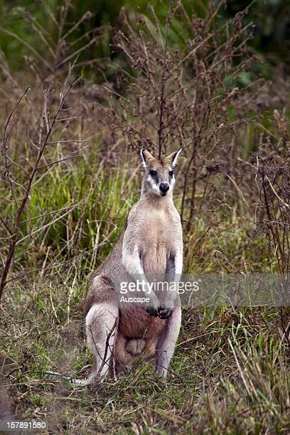 Agile wallaby male Tyto Wetlands near Ingham Queensland Australia