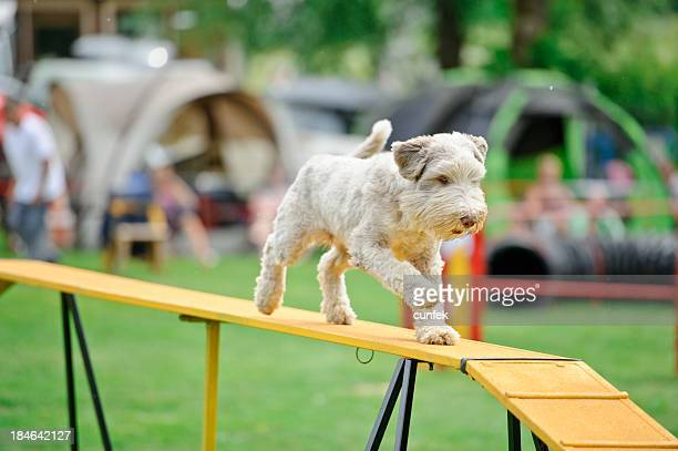 agility - dog show stock pictures, royalty-free photos & images
