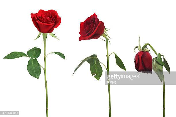 aging rose - death stock pictures, royalty-free photos & images